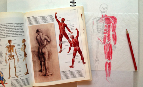 skeletonmuscles