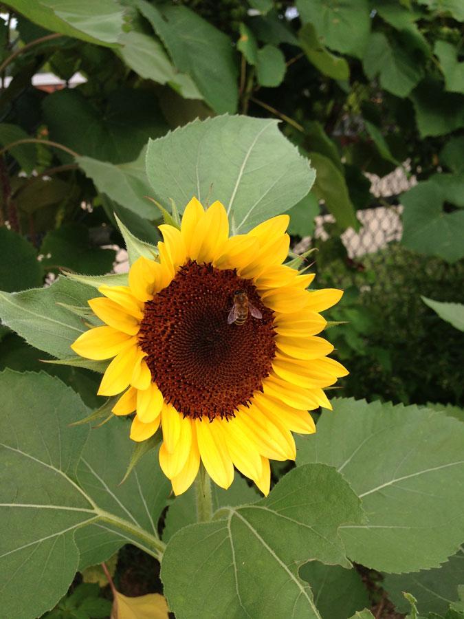 sunflowerbee