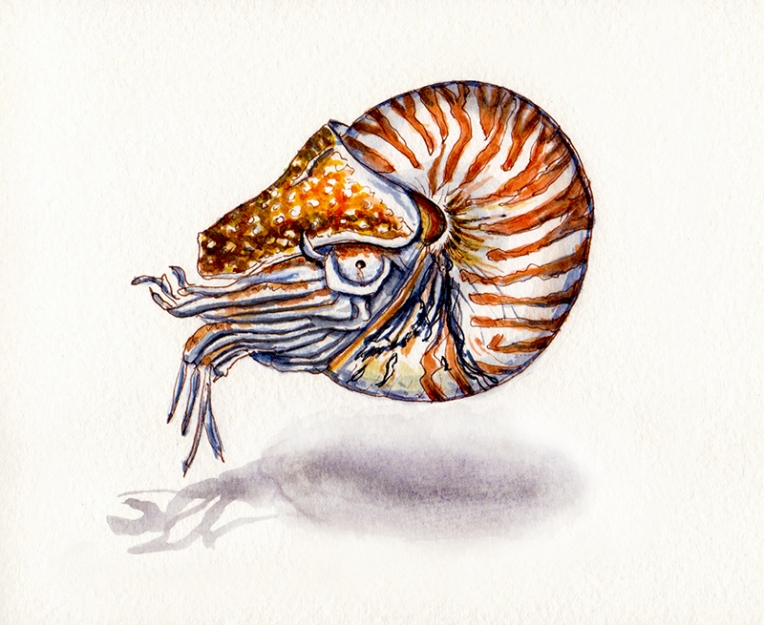 24-a-living-nautilus-shell