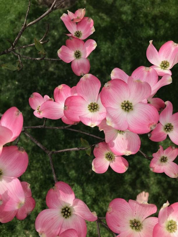 Dogwoods - springtime creative inspiration