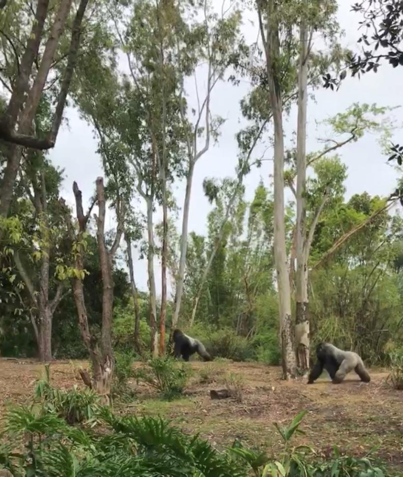 Gorillas at Animal Kingdom